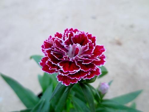 ダイナスティ ローズレース 八重咲きナデシコ 八重咲きダイアンサアス Dianthus 生産 種子 販売 松原園芸 直売