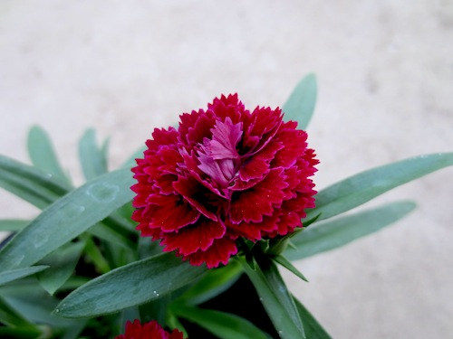 ダイナスティ レッド 八重咲きナデシコ 八重咲きダイアンサアス Dianthus 生産 種子 販売 松原園芸 直売