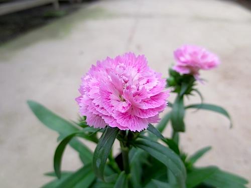 ダイナスティ ピンクマジック 八重咲きナデシコ 八重咲きダイアンサアス Dianthus 生産 種子 販売 松原園芸 直売