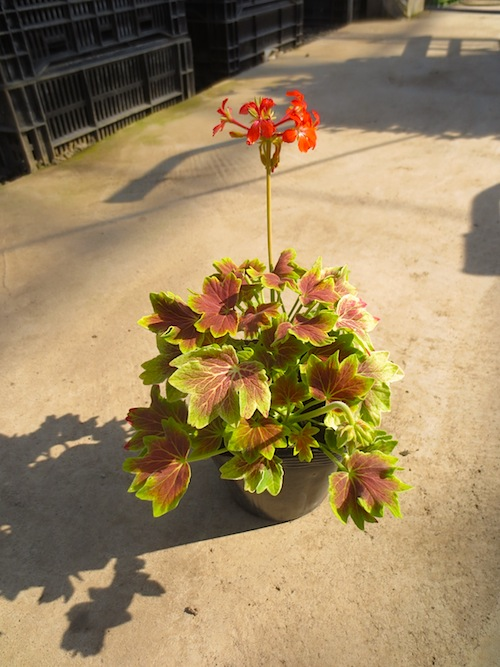 モミジバゼラニウム『バンクーバセンティニア』Pelargonium × hortorum  生産 販売 松原園芸 直売