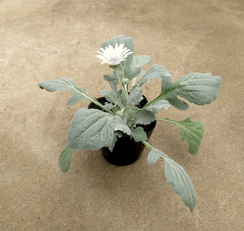 Arctotis grandis アークトチス グランディス ブルーアイ・ デージー   生産 販売 松原園芸