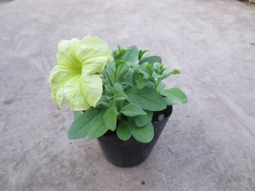 ソフィスティカ ライムグリーン ペチュニア Petunia  生産 販売 松原園芸 直売