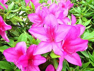 140430_2154家の周りの花壇のツツジ