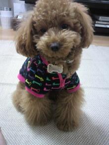 愛犬トイプーの鈴ちゃん☆ライフスタイル-2011050612050000.jpg