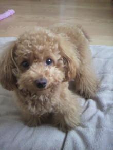 愛犬トイプーの鈴ちゃん☆ライフスタイル-2011050614420001.jpg