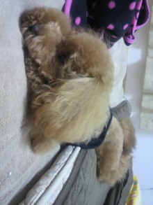 愛犬トイプーの鈴ちゃん☆ライフスタイル-2011050618500000.jpg