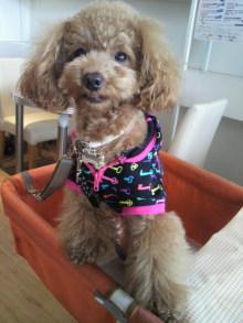 愛犬トイプーの鈴ちゃん☆ライフスタイル-2011050814230000.jpg