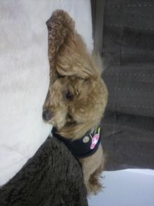 愛犬トイプーの鈴ちゃん☆ライフスタイル-2011050821270001.jpg