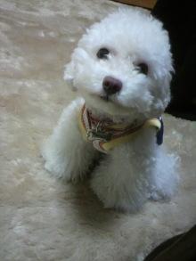 愛犬トイプーの鈴ちゃん☆ライフスタイル-2011051015190001.jpg