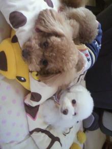 愛犬トイプーの鈴ちゃん☆ライフスタイル-2011051107550000.jpg