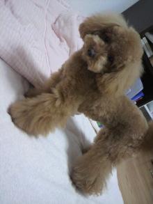 愛犬トイプーの鈴ちゃん☆ライフスタイル-2011051518150004.jpg