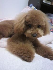愛犬トイプーの鈴ちゃん☆ライフスタイル-2011051518150000.jpg