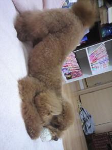 愛犬トイプーの鈴ちゃん☆ライフスタイル-2011051518150002.jpg