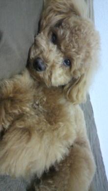 愛犬トイプーの鈴ちゃん☆ライフスタイル-2011051600260000.jpg