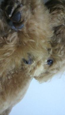 愛犬トイプーの鈴ちゃん☆ライフスタイル-2011051600300001.jpg