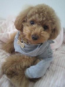 愛犬トイプーの鈴ちゃん☆ライフスタイル-2011051913230001.jpg