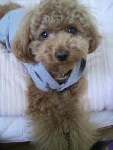 愛犬トイプーの鈴ちゃん☆ライフスタイル-2011051816440000.jpg