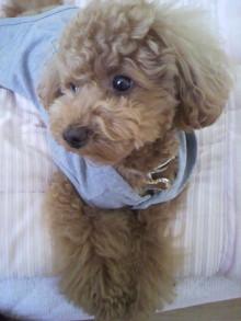 愛犬トイプーの鈴ちゃん☆ライフスタイル-2011051816430003.jpg