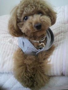 愛犬トイプーの鈴ちゃん☆ライフスタイル-2011051816430002.jpg