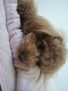 愛犬トイプーの鈴ちゃん☆ライフスタイル-2011051816430000.jpg