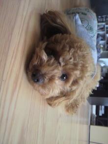 愛犬トイプーの鈴ちゃん☆ライフスタイル-2011052015550001.jpg