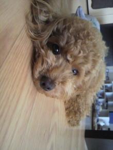 愛犬トイプーの鈴ちゃん☆ライフスタイル-2011052015560000.jpg