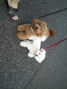 愛犬トイプーの鈴ちゃん☆ライフスタイル-2011052117340000.jpg