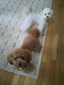 愛犬トイプーの鈴ちゃん☆ライフスタイル-2011052206350000.jpg