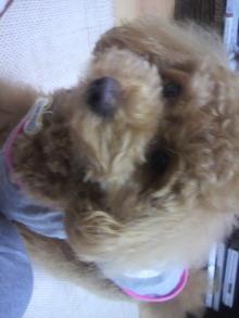 愛犬鈴ちゃん~トイプードル☆ライフスタイル~-2011052715350000.jpg