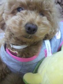 愛犬鈴ちゃん~トイプードル☆ライフスタイル~-2011052715400001.jpg