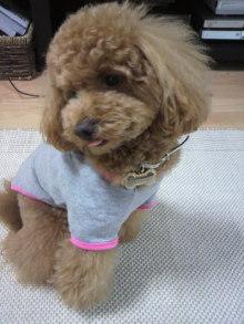 愛犬鈴ちゃん~トイプードル☆ライフスタイル~-2011052813060004.jpg
