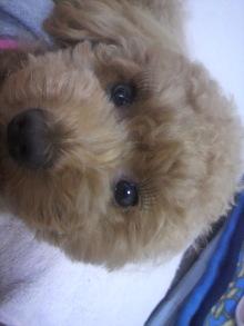 愛犬鈴ちゃん~トイプードル☆ライフスタイル~-2011052816300002.jpg