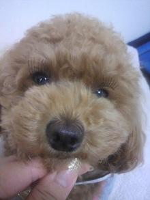 愛犬鈴ちゃん~トイプードル☆ライフスタイル~-2011052816310000.jpg