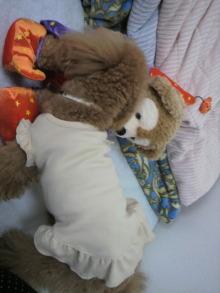 愛犬鈴ちゃん~トイプードル☆ライフスタイル~-2011053115310000.jpg