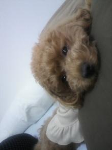 愛犬鈴ちゃん~トイプードル☆ライフスタイル~-2011060213310000.jpg