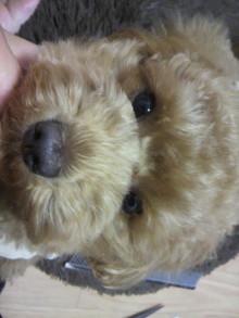 愛犬鈴ちゃん~トイプードル☆ライフスタイル~-2011060219220000.jpg