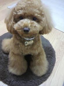 愛犬鈴ちゃん~トイプードル☆ライフスタイル~-2011060219320000.jpg