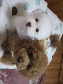 愛犬鈴ちゃん~トイプードル☆ライフスタイル~-2011060318240000.jpg