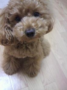 愛犬鈴ちゃん~トイプードル☆ライフスタイル~-2011060516460000.jpg