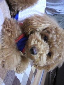 愛犬鈴ちゃん~トイプードル☆ライフスタイル~-2011052520500001.jpg