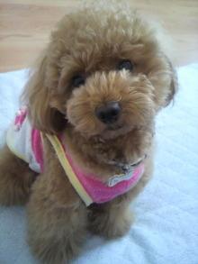 愛犬鈴ちゃん~トイプードル☆ライフスタイル~-2011060714180000.jpg