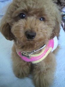 愛犬鈴ちゃん~トイプードル☆ライフスタイル~-2011060714170000.jpg