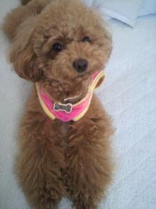 愛犬鈴ちゃん~トイプードル☆ライフスタイル~-2011060714160001.jpg