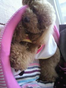 愛犬鈴ちゃん~トイプードル☆ライフスタイル~-2011060716070001.jpg