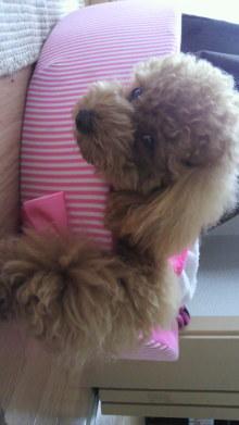 愛犬鈴ちゃん~トイプードル☆ライフスタイル~-2011060716350000.jpg