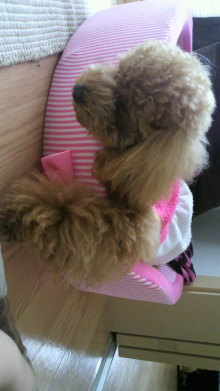 愛犬鈴ちゃん~トイプードル☆ライフスタイル~-2011060716350001.jpg