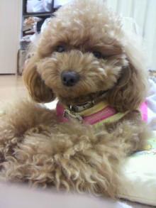 愛犬鈴ちゃん~トイプードル☆ライフスタイル~-2011060723560001.jpg