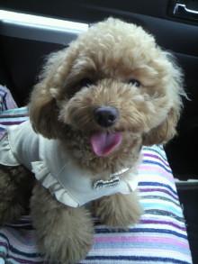 愛犬鈴ちゃん~トイプードル☆ライフスタイル~-2011060911310001.jpg