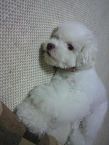 愛犬鈴ちゃん~トイプードル☆ライフスタイル~-2011060919270000.jpg