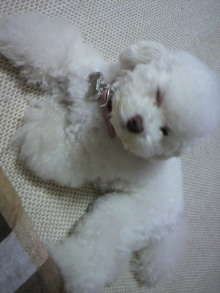 愛犬鈴ちゃん~トイプードル☆ライフスタイル~-2011060919270003.jpg